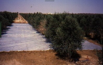 solarization-in-an-olive-orchard.jpg